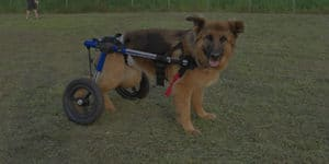 Best Dog Wheelchairs